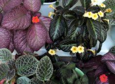 Комнатный цветок Эписция
