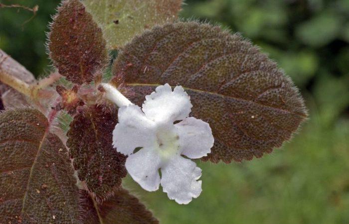 Эписция Лиловая (Episcia violet)