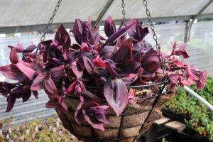 Сеткреазия пурпурная ампельная
