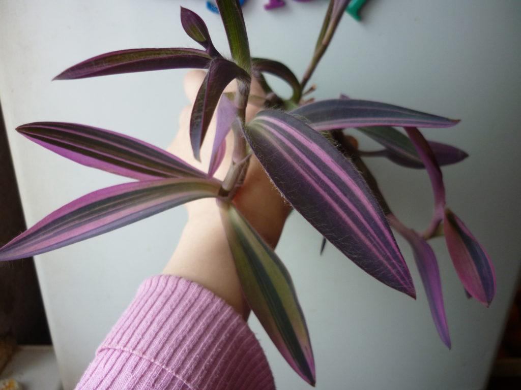 Сетреказия пурпурная вариегатная