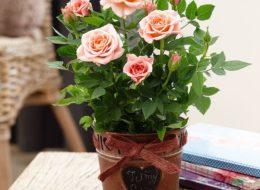 Комнатная роза розовая