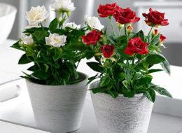 Комнатная роза белая и красная в горшке