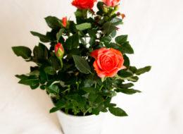Комнатная роза красная