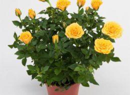 Комнатная роза желтая