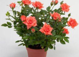 Комнатная роза светло-красная