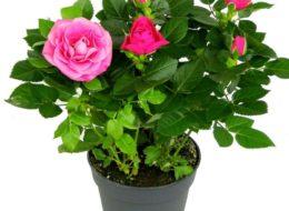 Комнатная роза ярко-розовая