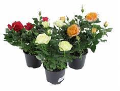 Комнатная роза различные сорта