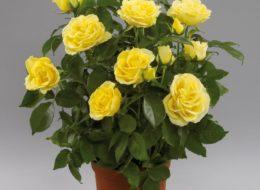 Комнатная роза желтый сорт