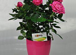 Комнатная роза розовая в горшке