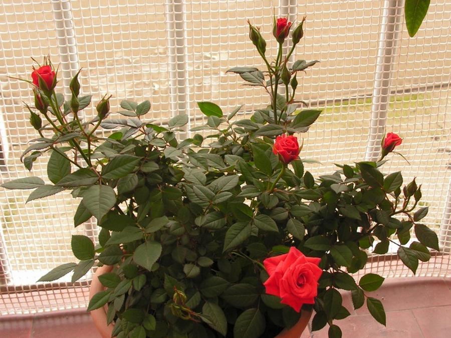 Комнатные розы Pagode