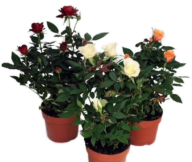 Комнатные розы Party