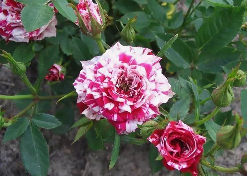 Комнатные розы Stars and Stripes