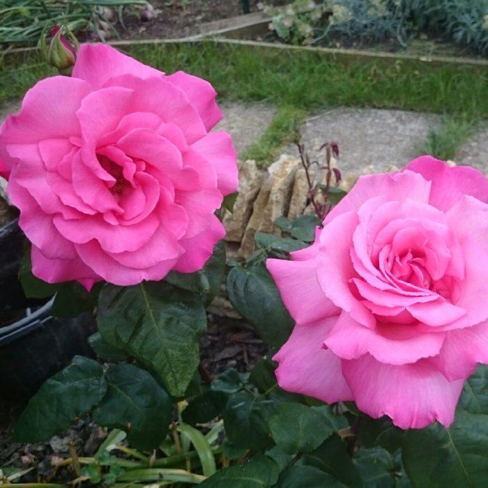 Розы Прима Балерина