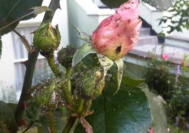 Тля на комнатных розах