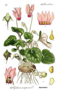 Cyclamen purpurascens. Ботаническая иллюстрация из книги О. В. Томе Flora von Deutschland, Österreich und der Schweiz, 1885