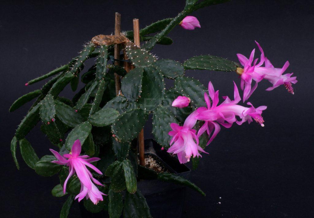 Schlumbergera opuntioides (опунциевидная)