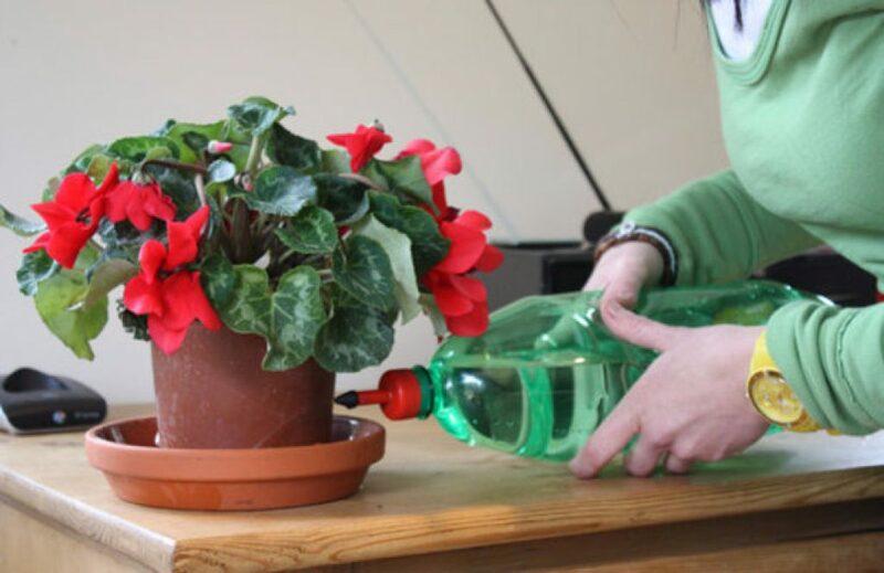 Цикламен: полив во время цветения