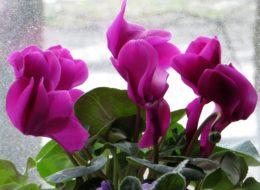 Цветок цикламен персидский