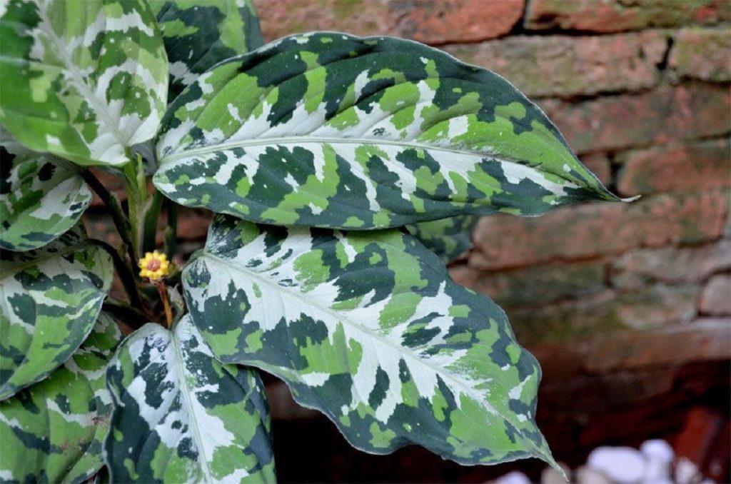Аглаонема расписная (Aglaonema pictum)