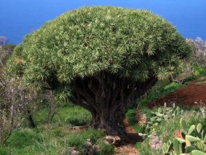 Драконово дерево (Dracaena draco). Остров Пальма, Канарские острова