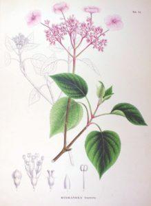 Гортензия вьющаяся (Hydrangea scandens) Ботаническая иллюстрация из книги Зибольда и Цуккарини Flora Japonica, Sectio Prima, 1870