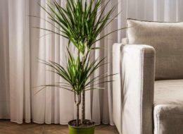 Растение Драцена Маргината