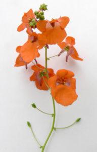 Диасция, цветки сорта Little Tango