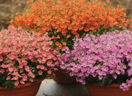 Фото растения Диасция