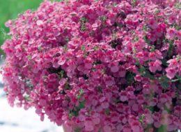 Изящный красивоцветущий ампельный цветок Диасция