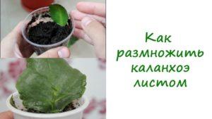 Как размножить каланхоэ листом