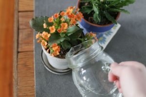 Каланхоэ цветок полив