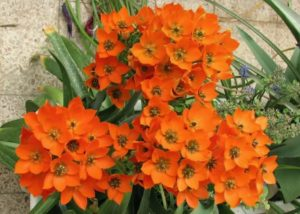 Орнитогалум птицемлечник оранжевый