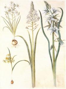 Птицемлечник зонтичный и Птицемлечник поникший. Ботаническая иллюстрация из «Gottorfer Codex», 1649—1659