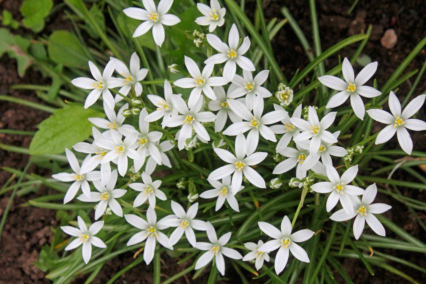 Птицемлечник: описание растения