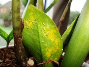 Тля на листьях замиокулькаса