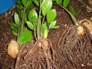 Замиокулькас корни