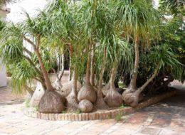 Бутылочная пальма Нолина