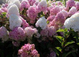 Метельчатая розовая гортензия