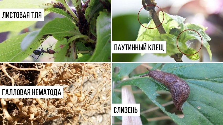 Насекомые-паразиты гортензии