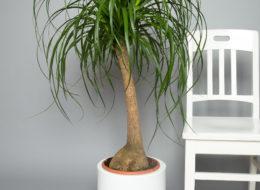 Нолина бутылочное дерево (Бокарнея)